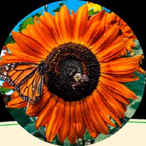 Autumn Beauty Sunflower