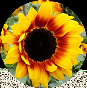 Fire Cracker Sunflower