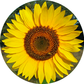 Giganteus Sunflower