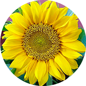 Gold Sun Sunflower