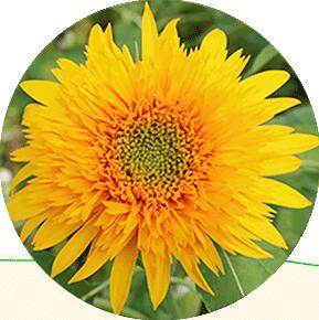 Golden Cheer Sunflower