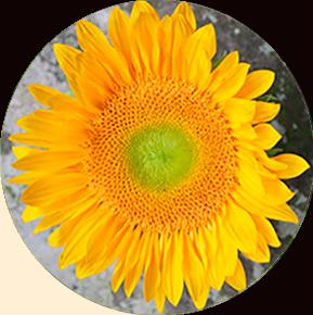 Green Sunbeam Sunflower