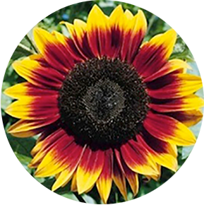 Mahogany Sunflower