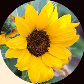Orange Hobbit Sunflower