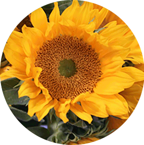 Orange Sunbeam Sunflower