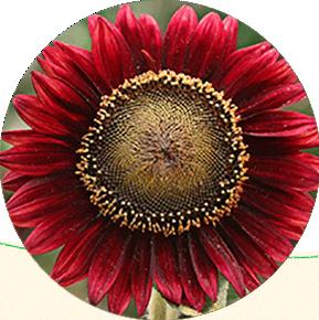 Red Sun Splash Sunflower