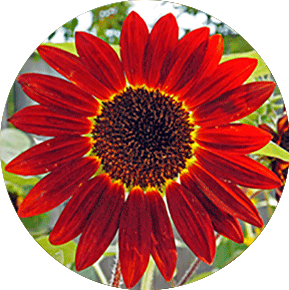 Red Sunbeam Sunflower