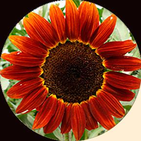 Red Sunflower Sunflower