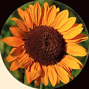 Soraya Sunflower
