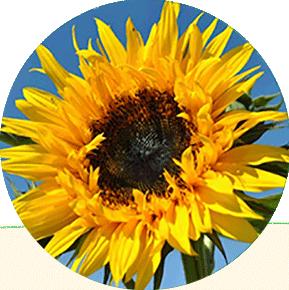 Sun Splash Sunflower