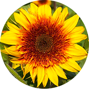 Sundance Kid Sunflower