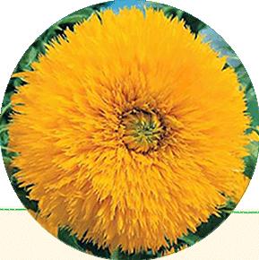 Sungold Sunflower
