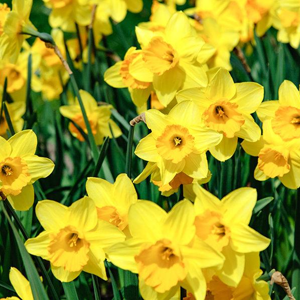 Daffodil field in spring