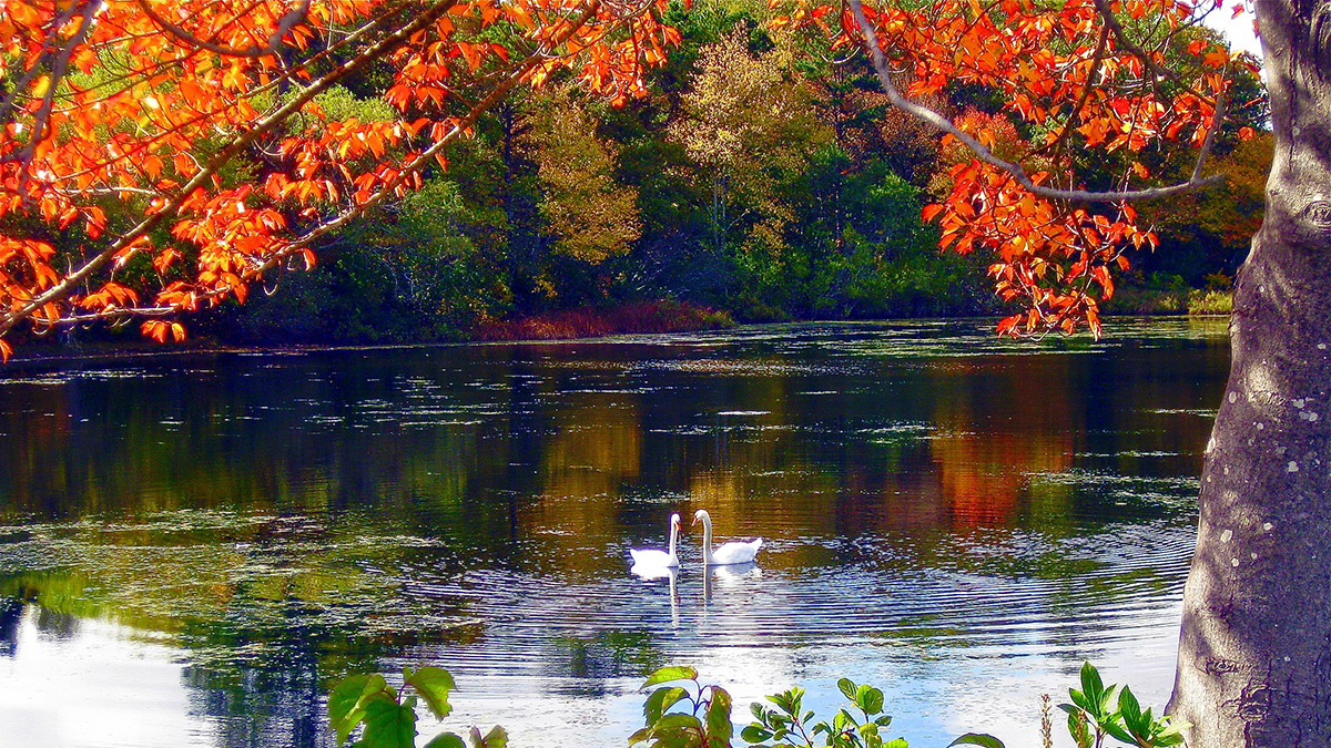 A photo of loving fall at a pond with fall foliage and swans.