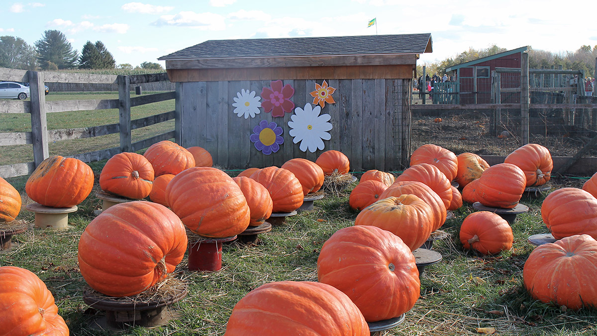 A photo of a pumpkin patch for an autumn day in New England.