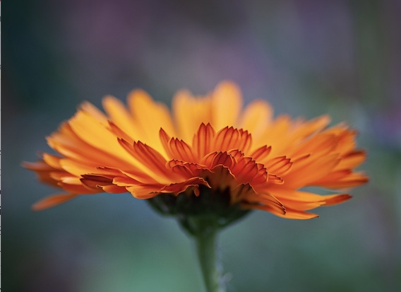 A photo of Calendula, the October birthday flower.