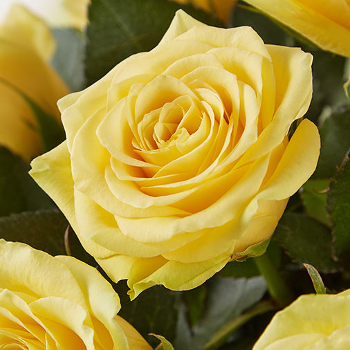 Tell your best friend that there's no one else you'd rather have by your side than them with the help of a few yellow roses. Yellow roses' sunny demeanor and positive attitude make the perfect gift for anyone you care about.